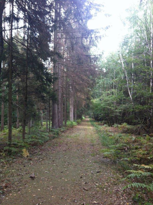 mort des pins en Argonne