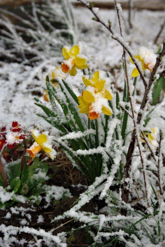 Fruitiers en fleurs sous la neige !