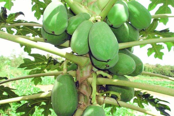 Papaye au coco