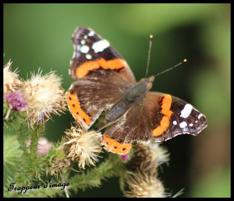 Papillon!!