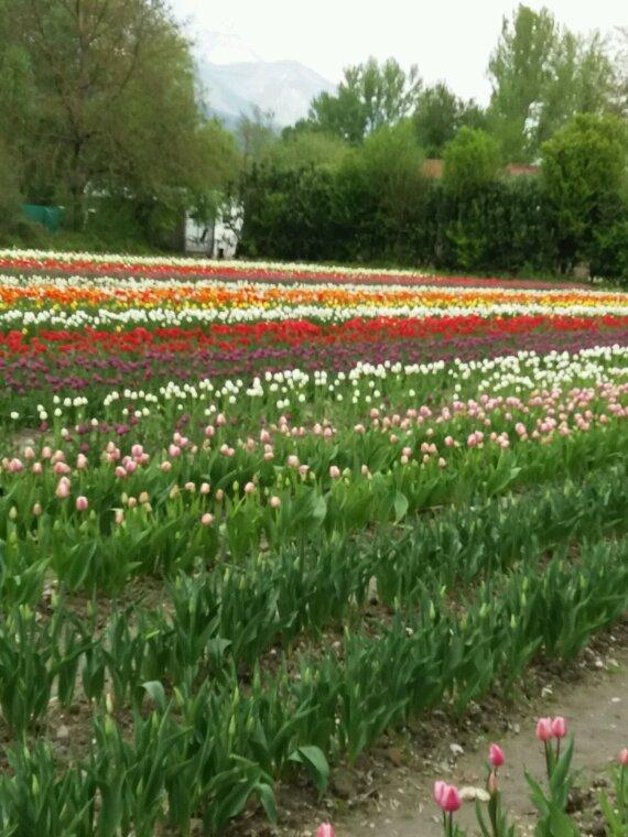 Cueillette de tulipes pour les enfants malade
