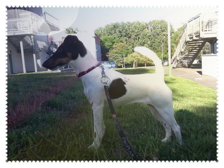 Standard du Fox-Terrier Poil Lisse