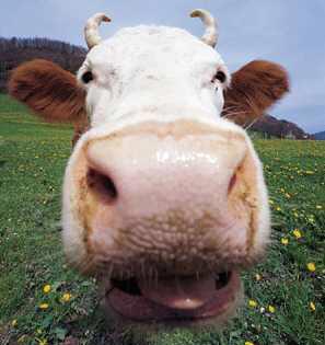 masculin vache