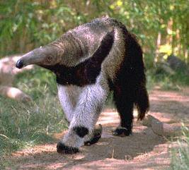 Le fourmilier blog de faune flore insolites - Animal qui mange les fourmis ...