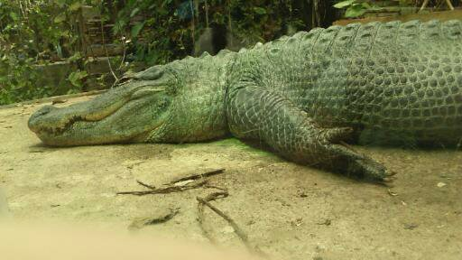 Crocodile du zoo Beauval