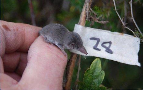 le plus petit mammifère du monde