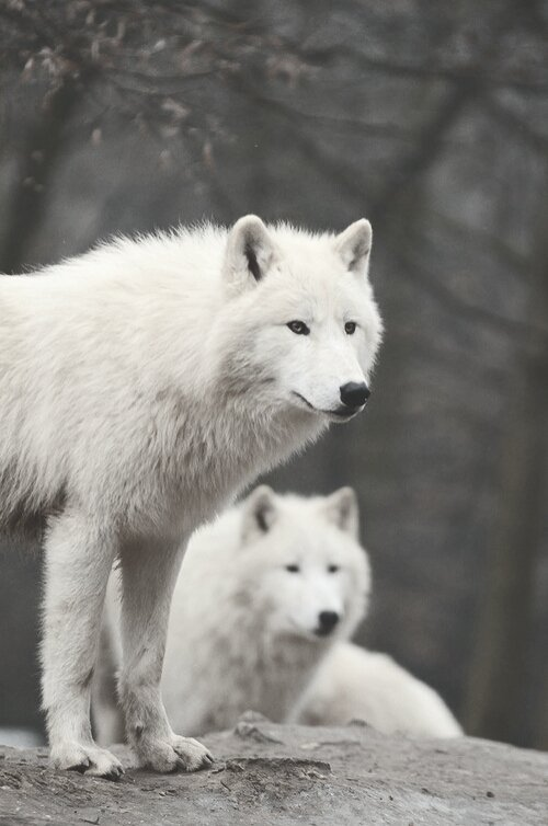 ♥ Wolves ♥