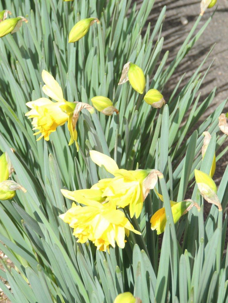 les jonquilles sont en fleur