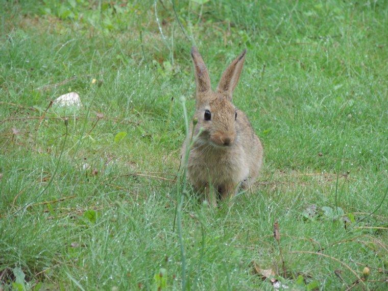 un petit lapinou vient chez nous tous les jours ......trop mimi