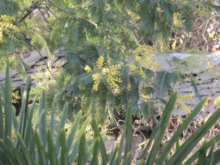bonne journée avec mon mimosa!! on a un beau soleil et un ciel presque bleu