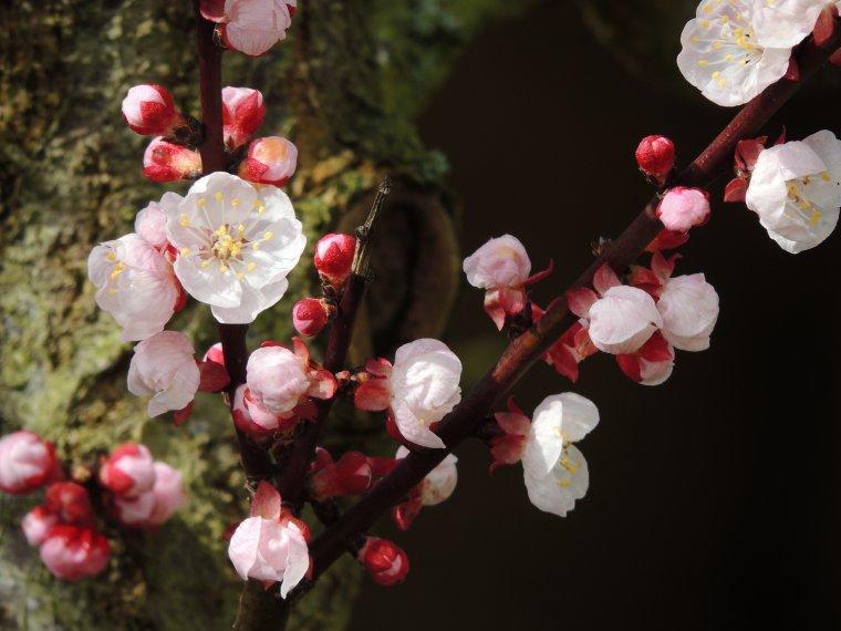 les fleurs de l abricotier