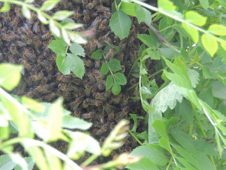un essaim d abeille