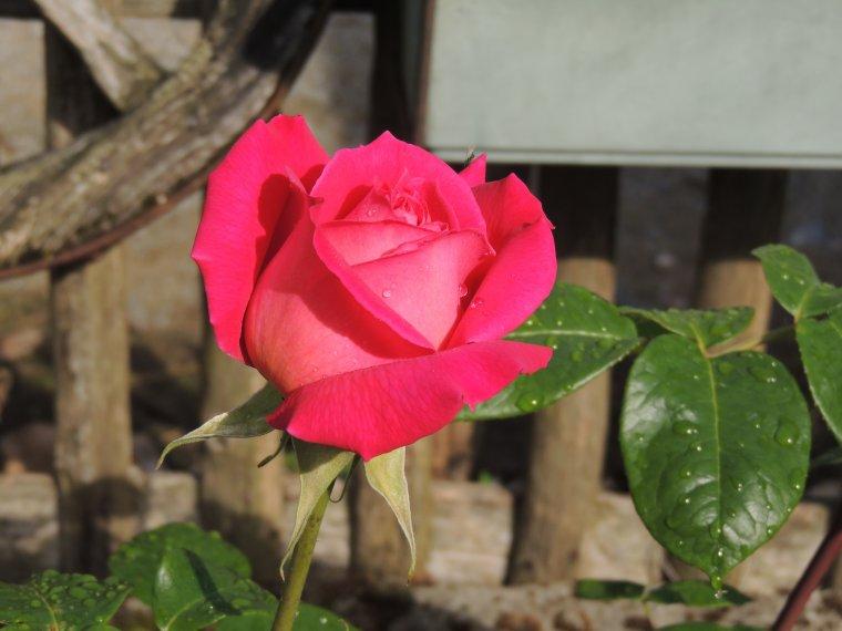 la premiere rose de devant et les lezards qui farnientent au soleil