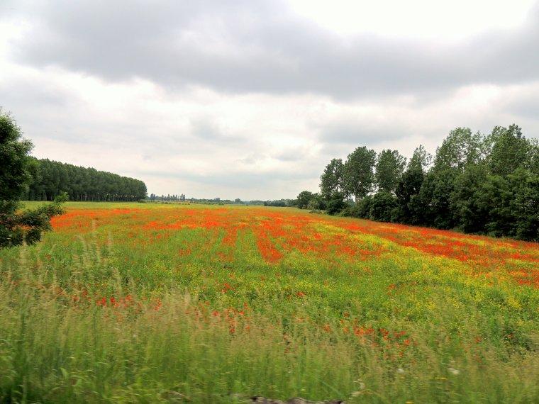 un beau champ de coqulelicots par chez nous foto prise dimanche  à côté de chalonnes sur loire