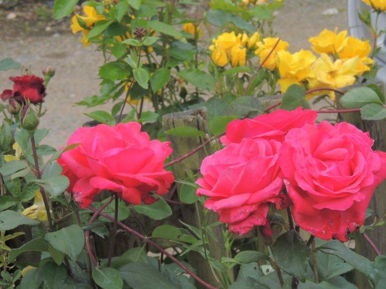 qq roses du jardin ...............