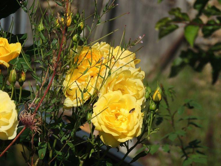 mes roses du jardin prises à l instant