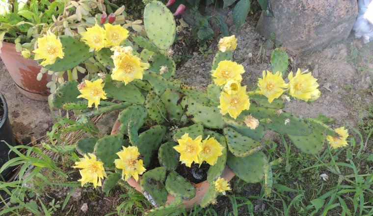 pour faire echo à jacqueline mon cactus jaune