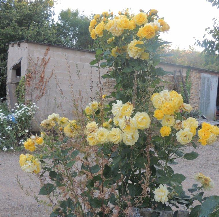 mon enorme rosier , il a fait une grosse branche de deux metres de haut avec au bout cet enorme bouquet de rose