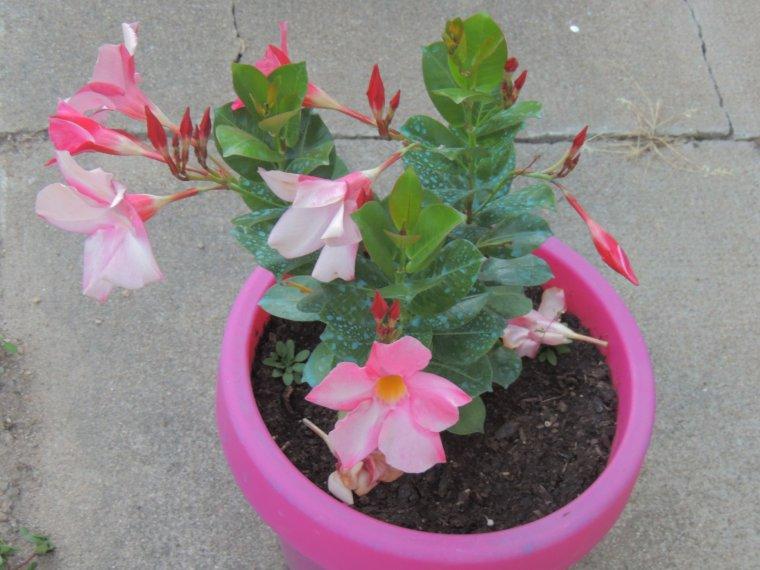 les fleurs du jardin..tout à refleurit.................