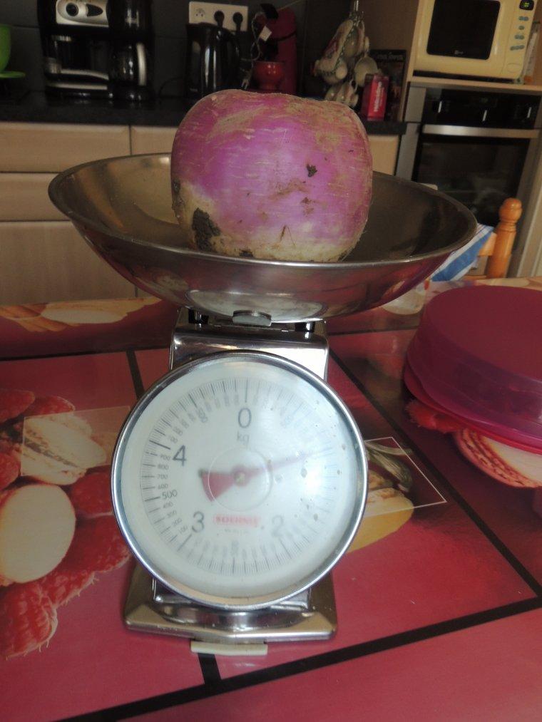 un gros navet  de presque un kilo dans le jardin