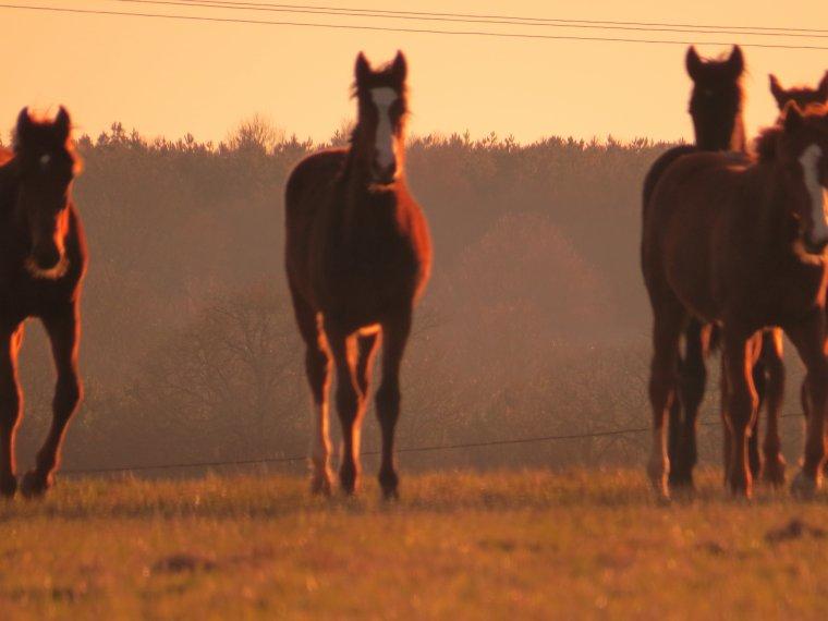 les chevaux chez le voisin sous le soleil du soir