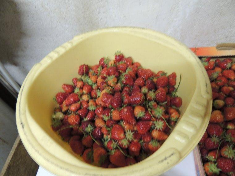 ramassage des fraises par mon mari