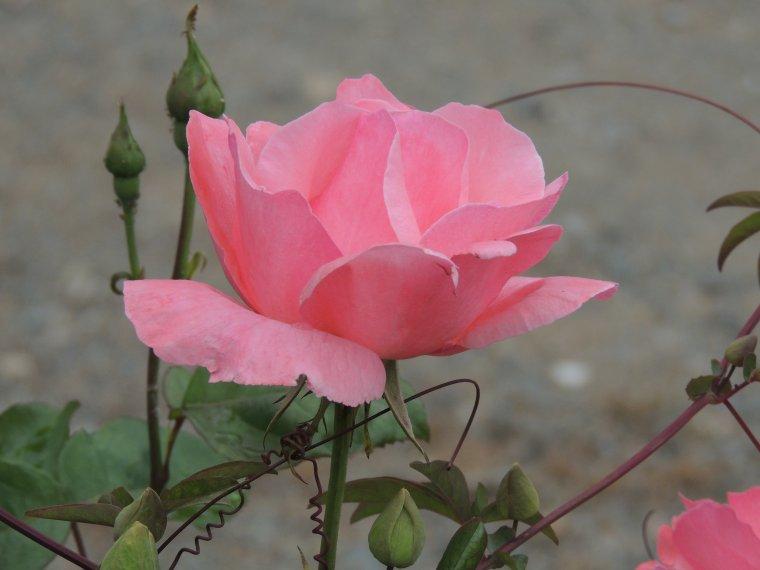 les jolies roses de chez nous