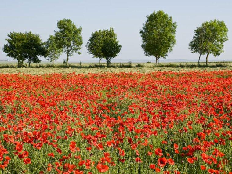 un champ de coquelicots, ils commencent a revenir dans les semences de blé ,ya pleins de champs par chez nous comme ça