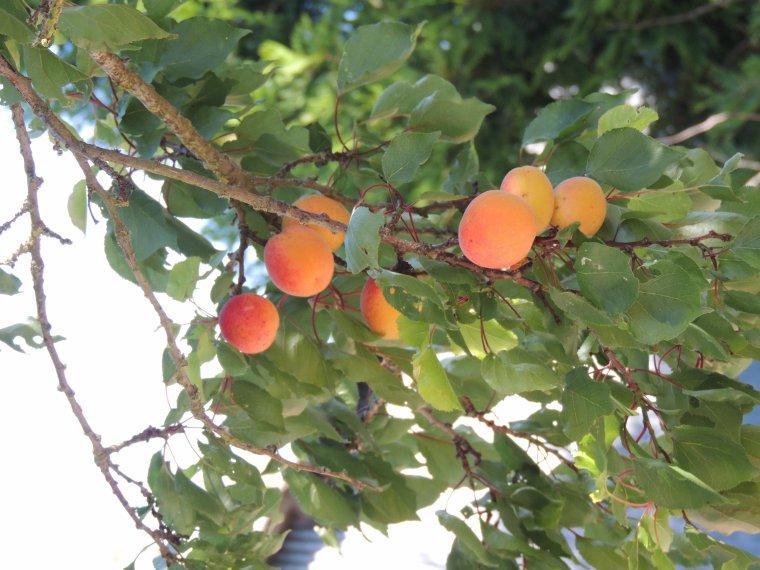 nos abricots mûrissent