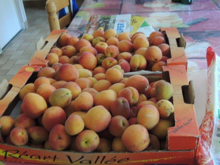abricots ramassés