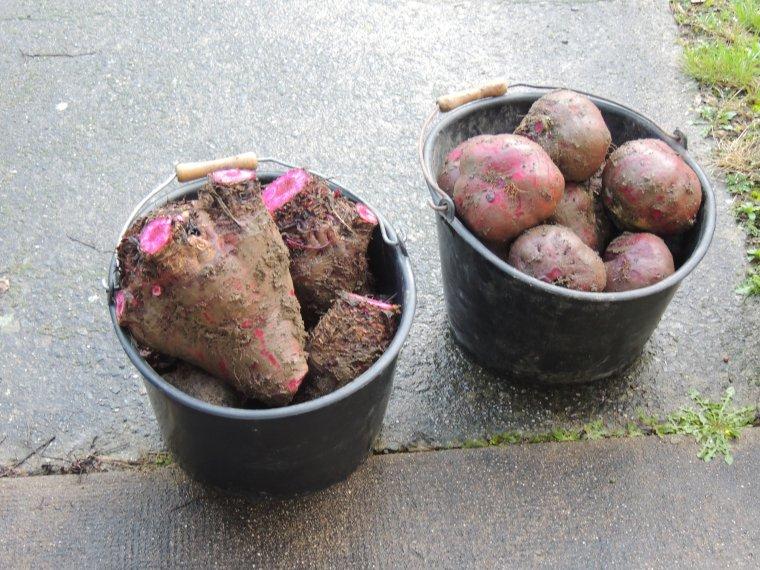 ramassage des betteraves    mon mari a ramassé les betteraves du jardin et voilà les morceaux ..la plus grosse fait 3.360kg.... la preuve en image..