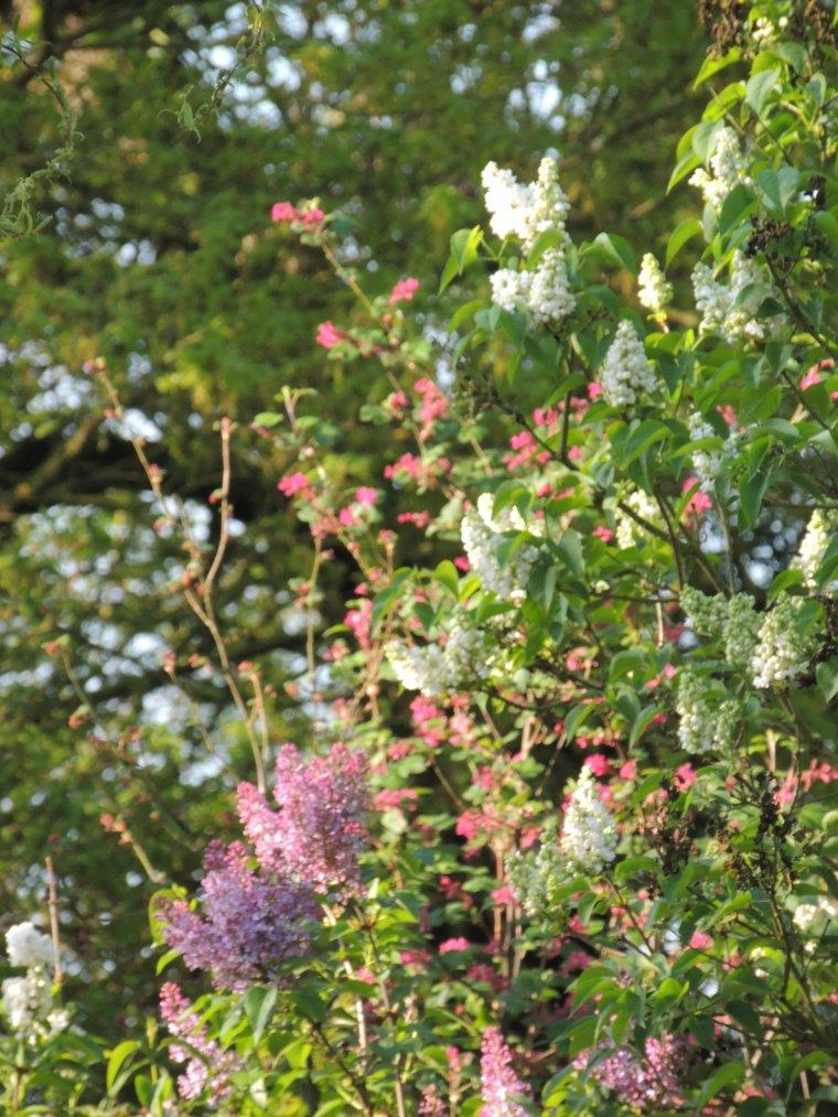 fotos du jour .....lilas blanc et violet........cassiccier fleur.....muguet...........