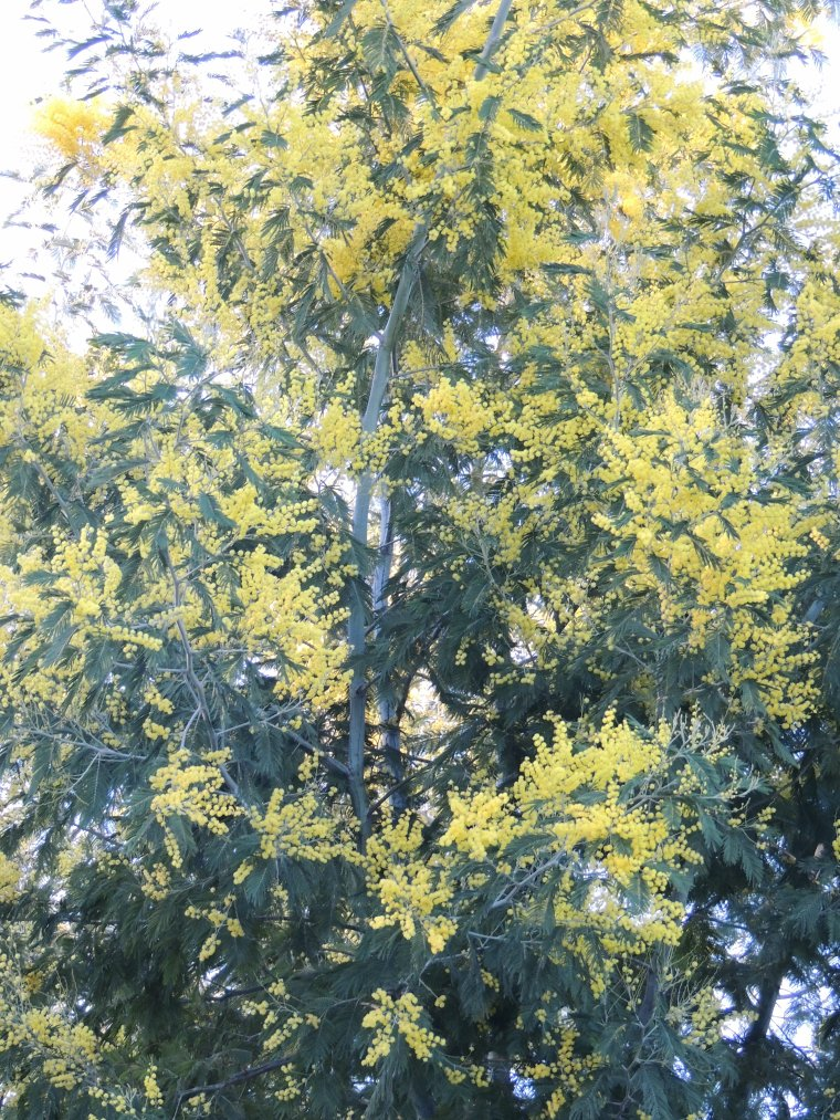 le mimosa en fleurs