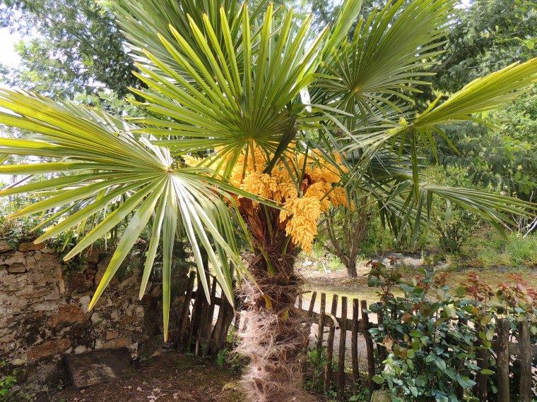 mon beau palmier et ses fleurs magnifiques cette année.