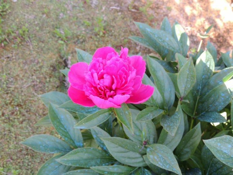 les  rosiers comment à fleurir et la pivoine fait ses premières fleurs
