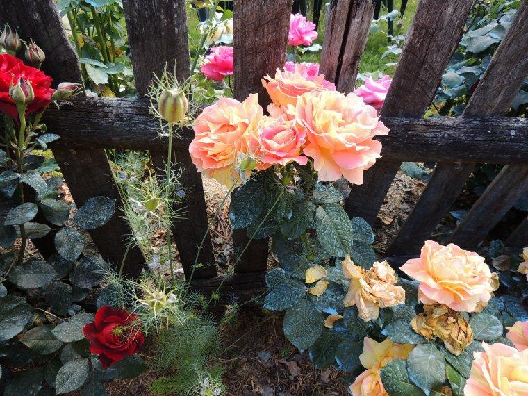 mes roses et ma pivoine