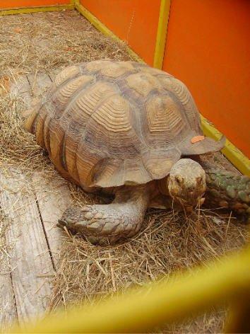 une grosse tortue