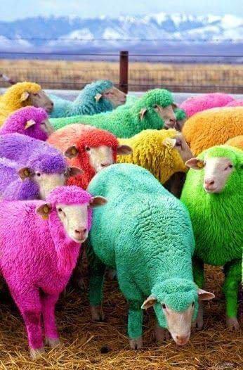 Moutons je vous trouve très beaux et interdiction de vs mangez !!!!