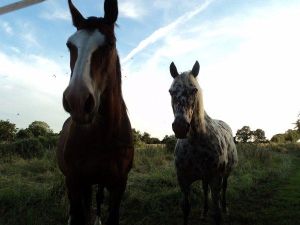 Appaloosa et autre cheval