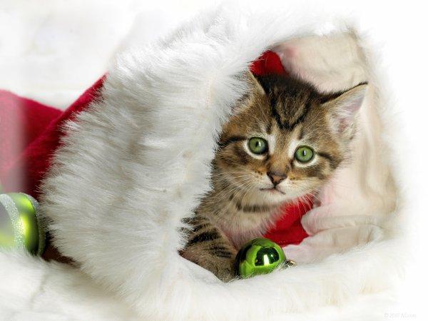 petit chat de noel trop mimi