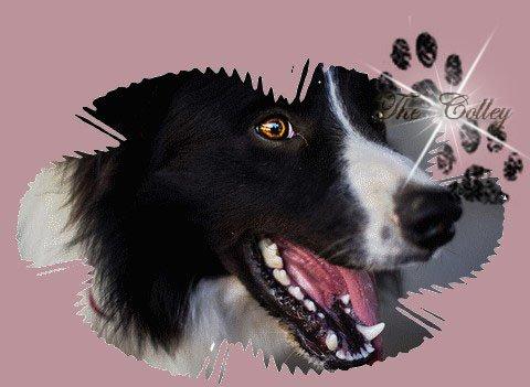 Ce n'est pas qu'une simple race , mais le plus beau des chiens