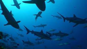 Requins : Vraiment un danger pour l'humain ? Rubrique Culture