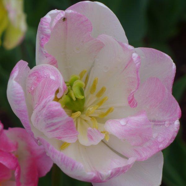 La Magie des tulipes