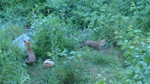Un petit couc de mes renards, qui ont bien bien grandis, depuis!