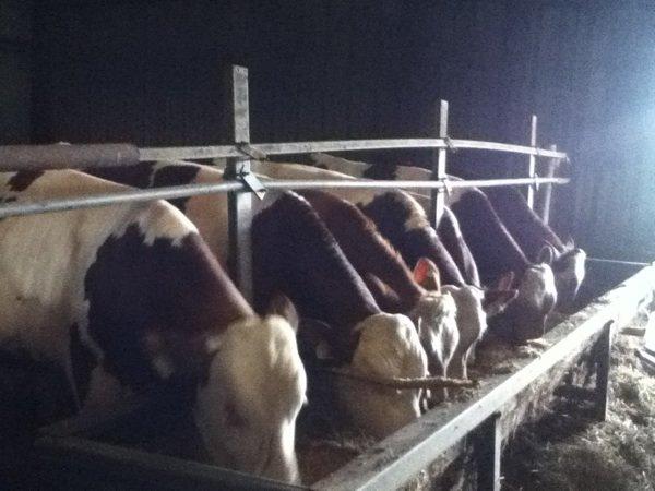 voilà quelques taureaux de la ferme
