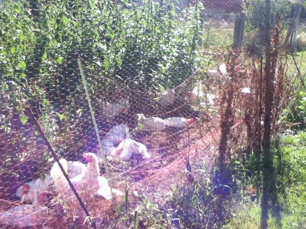 Les poules de la ferme