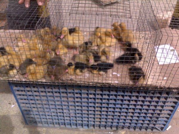 Ma visite à un marche d'animaux au Koweit