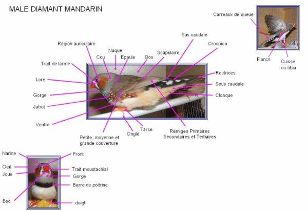 Si on peut augmenter penis avec laide du massage