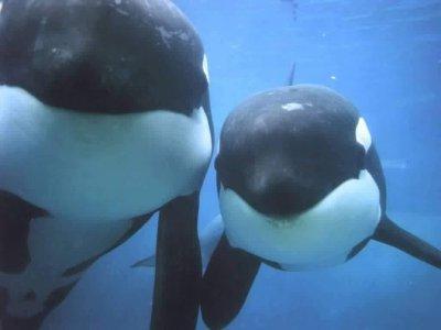 orques