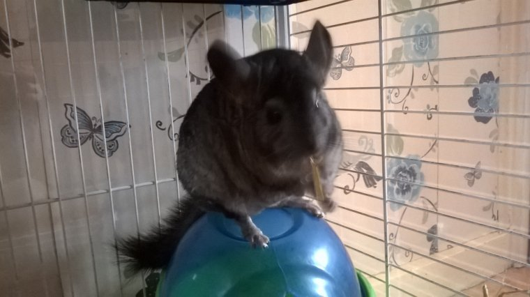 QUELQUES PHOTOS DES CHINCHILLAS DE MARIE